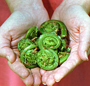 Fiddleheads_2